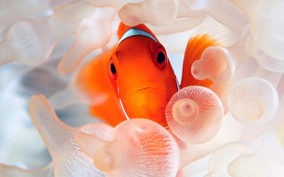 小丑鱼可爱高清壁纸-zol桌面壁纸