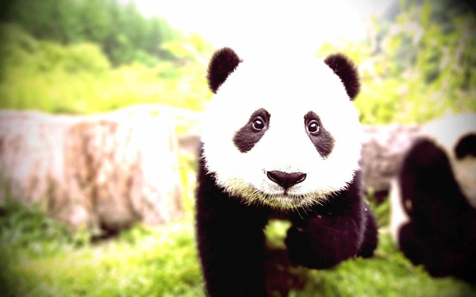 36动物猜谜熊猫图