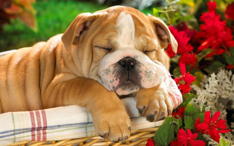 可爱狗狗壁纸