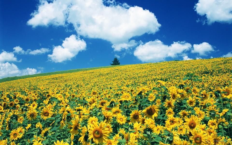 向日葵花海高清桌面壁纸