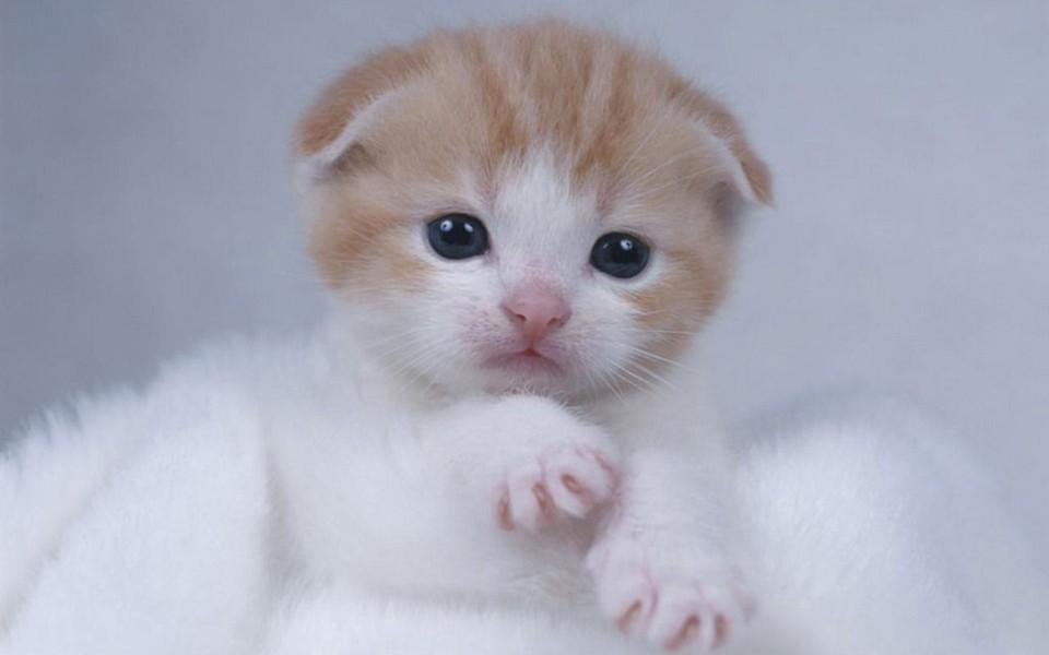 電腦壁紙 萌貓壁紙 蘇格蘭折耳貓電腦桌面壁紙下載