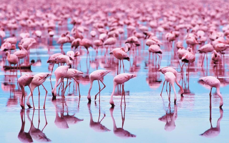 粉红色的火烈鸟壁纸桌面