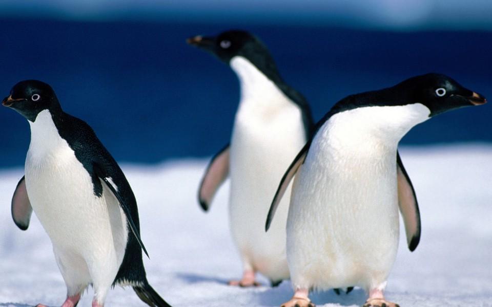 呆萌企鹅高清壁纸