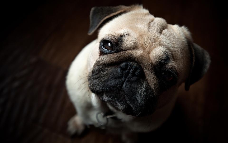 巴哥犬可爱高清壁纸