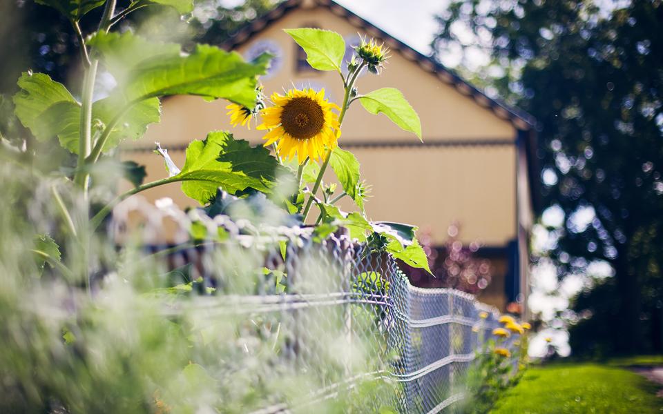 笔记本壁纸 植物壁纸 向日葵宽屏锁屏壁纸下载   (1/11) 小箭头图标亲