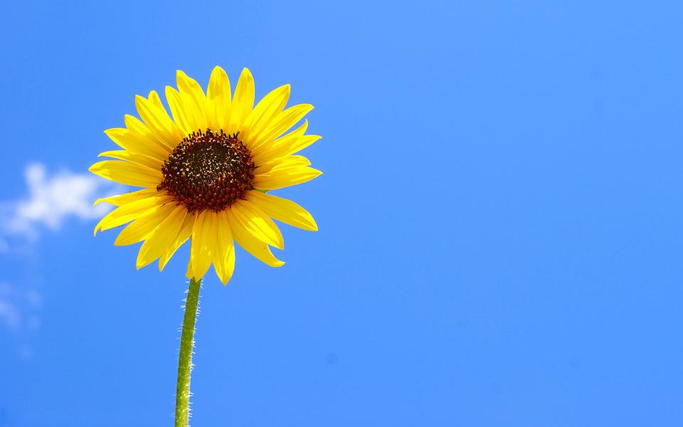 笔记本壁纸 植物壁纸 向日葵宽屏锁屏壁纸下载   (9/11) 小箭头图标