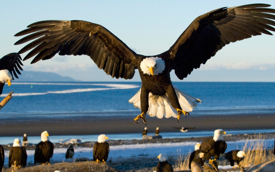 上一组图 下一组图 壁纸标签: 猜您喜欢 老鹰eagles高清动物壁纸(11