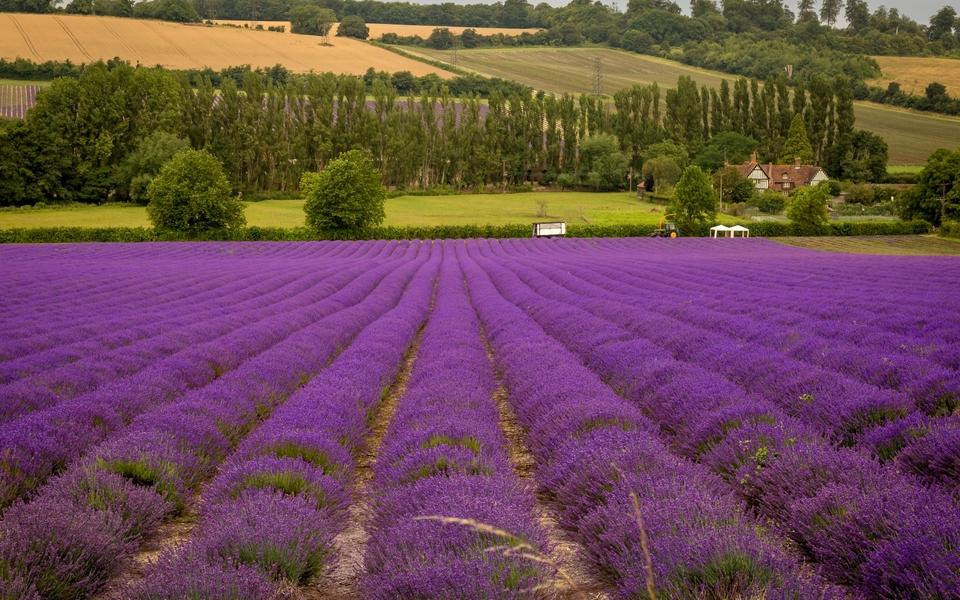 电脑壁纸 唯美意境壁纸 紫色薰衣草风景壁纸下载   (6/11) 小箭头图标