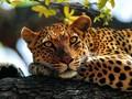 印度豹宽屏桌面壁纸