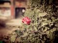 唯美花朵桌面壁纸