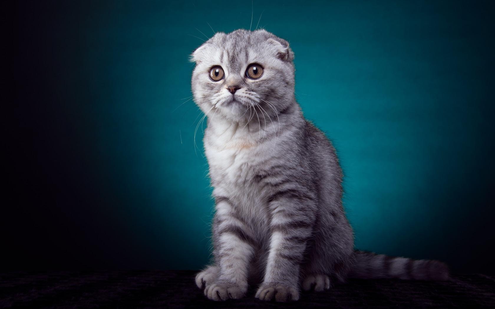 壁纸 动物 猫 猫咪 鸟类 小猫 桌面 1680_1050