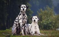 斑点犬Dalmatian高清壁纸