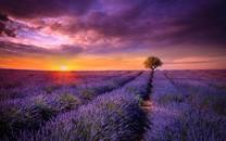紫色薰衣草唯美桌面壁纸