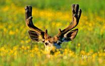 野生麋鹿高清壁纸