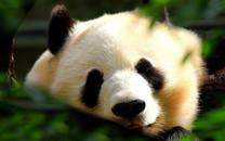 电脑桌面壁纸熊猫