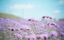 紫色花海桌面壁纸