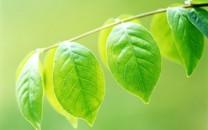 清新护眼绿色植物桌面壁纸