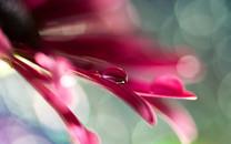 花朵上的水滴桌面壁纸