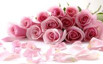 粉色玫瑰高清壁纸