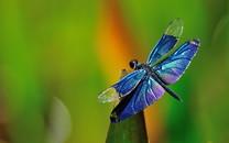 蜻蜓特写高清桌面壁纸