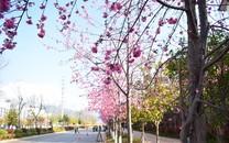 春天樱花大道桌面壁纸