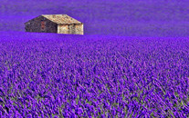 紫色薰衣草风景壁纸