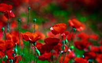 红色花卉桌面待机壁纸
