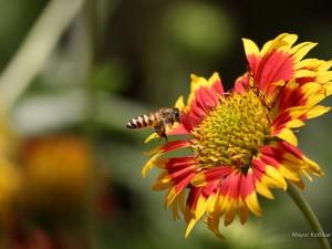 安卓微距 高清 戏花间 蜜蜂手机壁纸