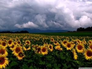 安卓唯美 植物 向日葵手机壁纸