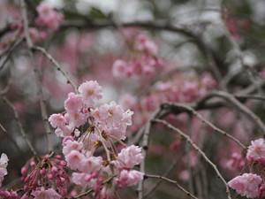 安卓樱花 盛开 摄影手机壁纸