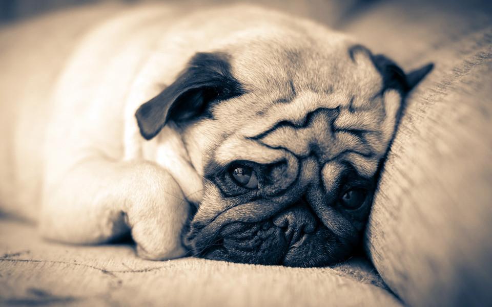 可爱狗狗高清壁纸桌面-zol桌面壁纸