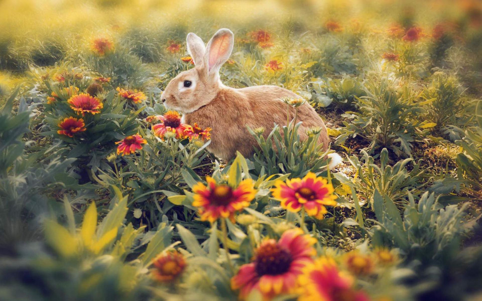 可爱动物小兔子高清电脑壁纸 第3页-zol桌面壁纸
