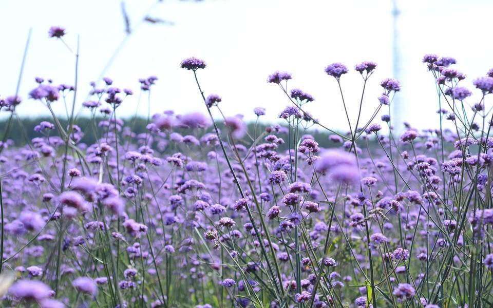 电脑壁纸 花朵壁纸 紫色花海桌面壁纸下载   (8/9) 小箭头图标亲~快来