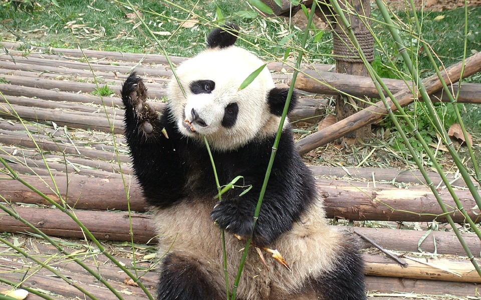 笔记本壁纸 动物壁纸 卖萌熊猫高清壁纸下载   (9/9) 小箭头图标亲~快