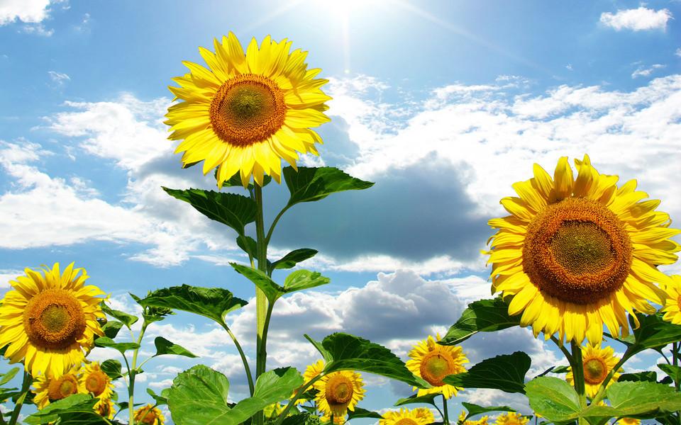 电脑壁纸 向日葵壁纸 灿烂向日葵高清壁纸下载
