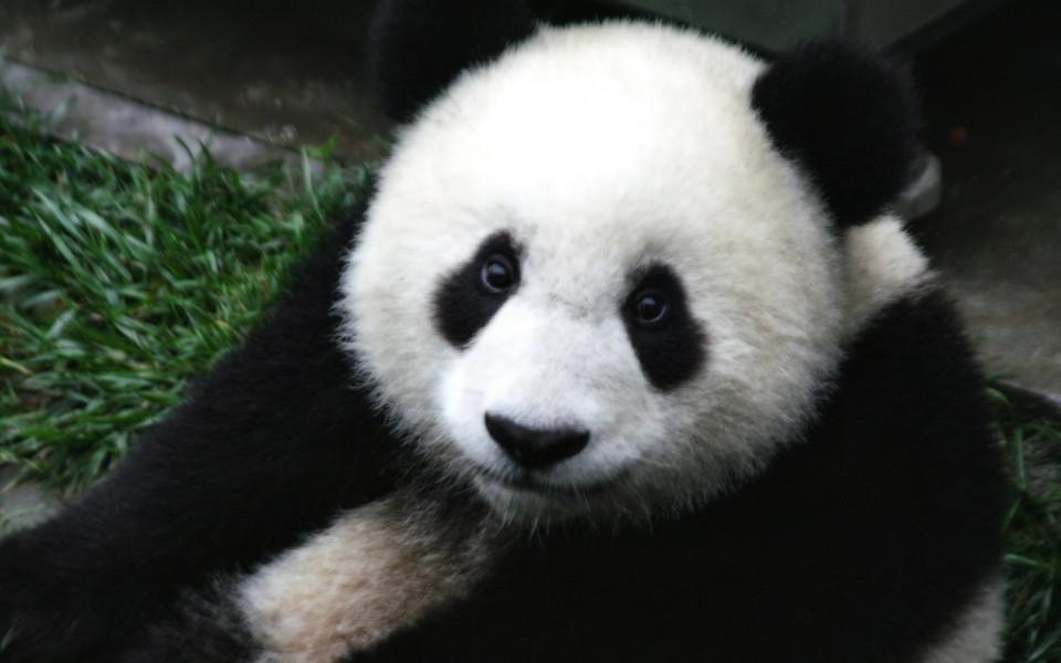 笔记本壁纸 动物壁纸 熊猫高清壁纸精选集下载