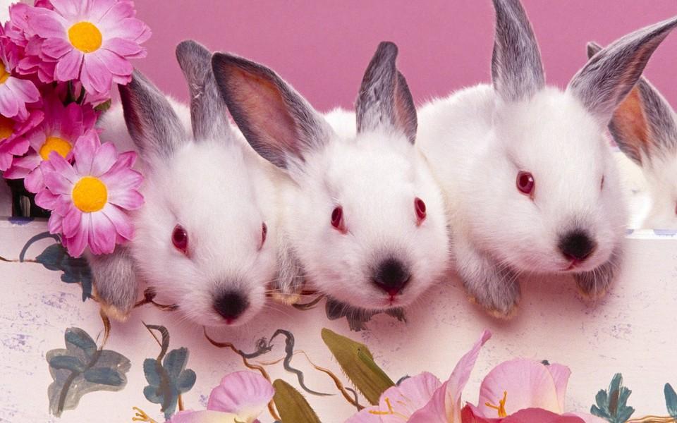 可爱小兔子高清壁纸(10/30) zol桌面壁纸有部分资源来源于互联网,图片