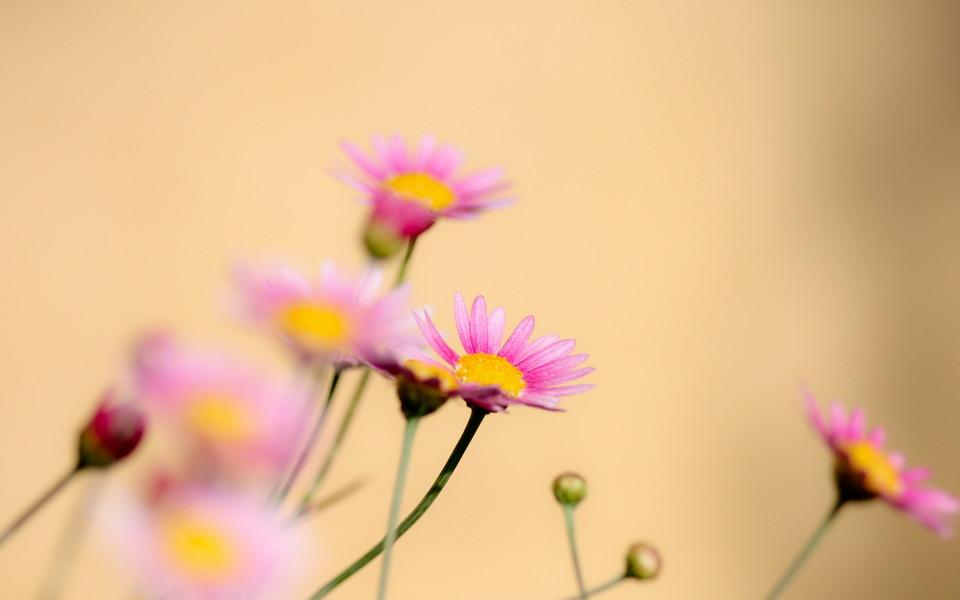 电脑壁纸 植物壁纸 美丽的花朵唯美高清桌面壁纸下载   (6/10) 小箭头