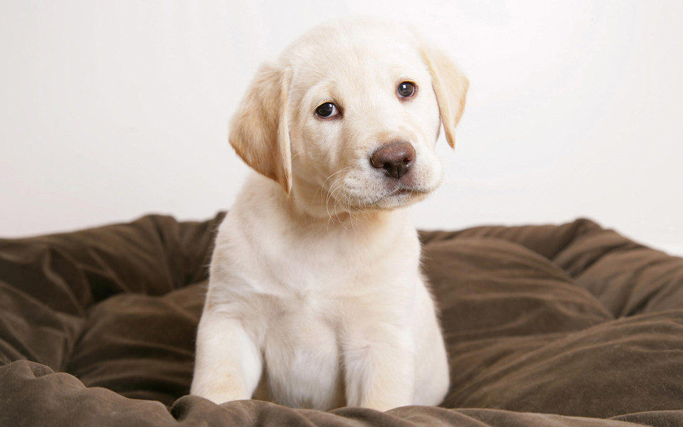 可愛萌狗狗電腦桌面壁紙
