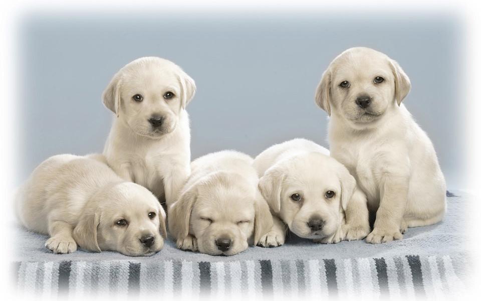 电脑壁纸 动物壁纸 可爱萌狗狗电脑桌面壁纸下载
