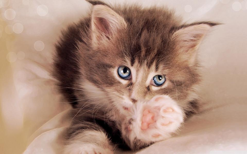 笔记本壁纸 萌猫壁纸 可爱的小猫电脑桌面壁纸下载