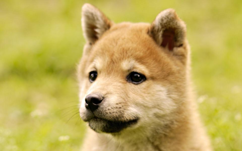 电脑壁纸 可爱狗狗壁纸 日本名犬秋田犬壁纸下载   (4/18) 小箭头图标