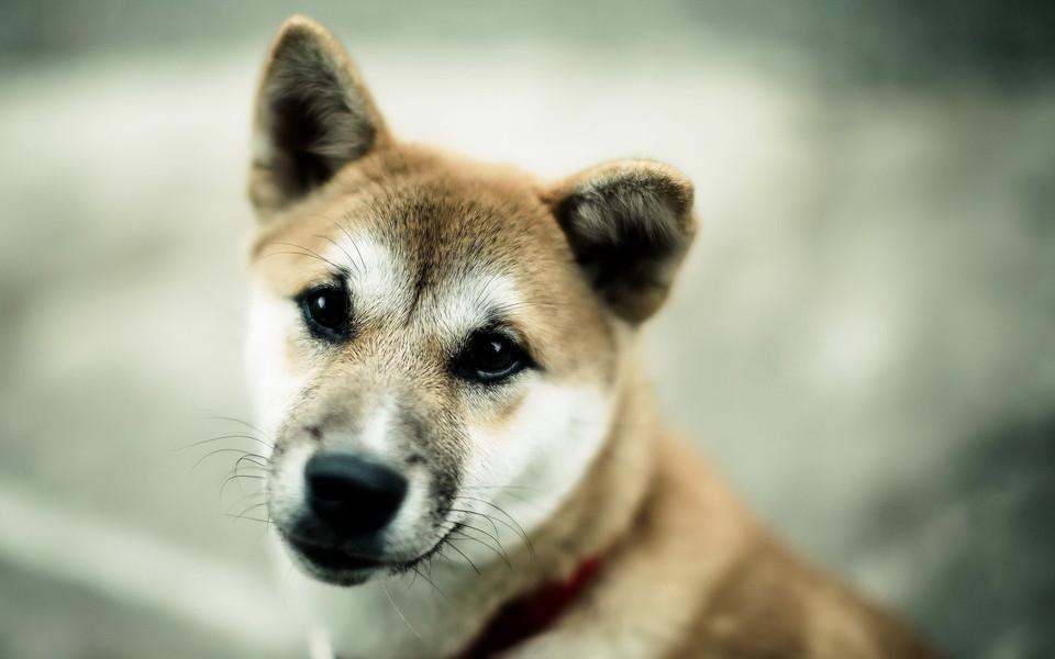 电脑壁纸 可爱狗狗壁纸 日本名犬秋田犬壁纸下载
