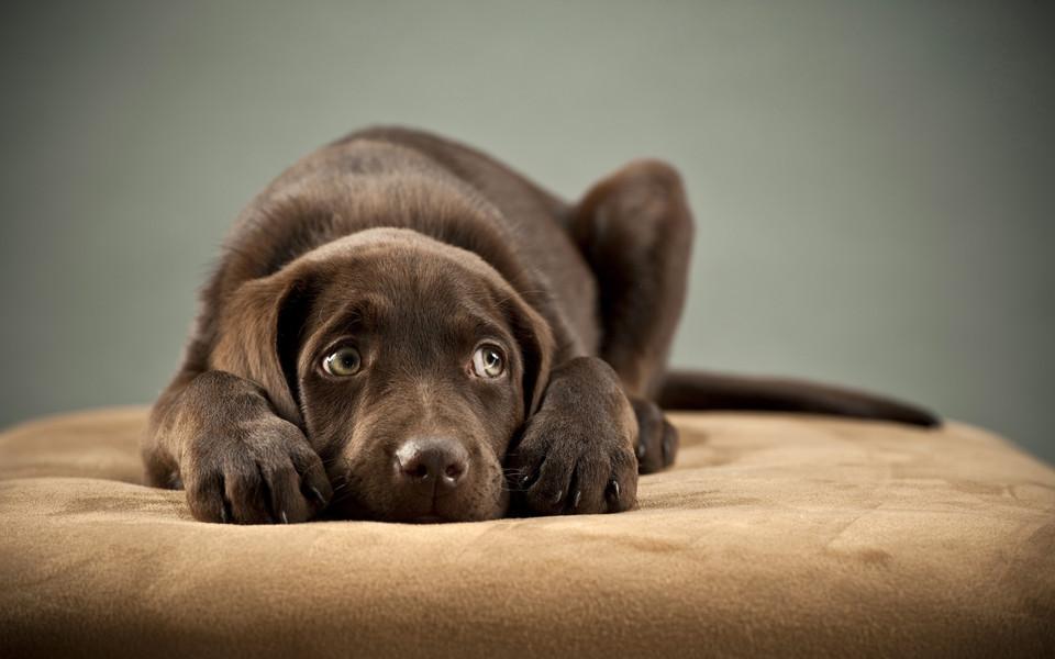 笔记本壁纸 可爱狗狗壁纸 拉布拉多猎犬桌面壁纸下载