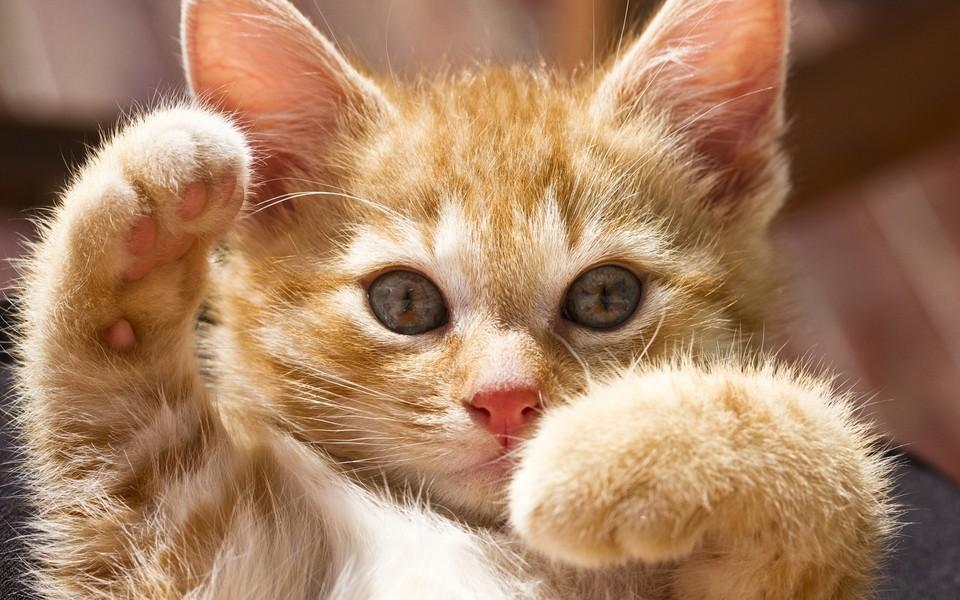 电脑壁纸 萌猫壁纸 大图猫咪高清壁纸桌面下载