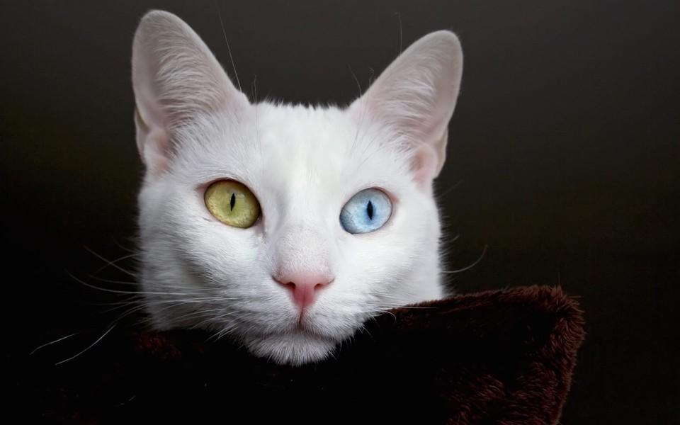 电脑壁纸 萌猫壁纸 白猫经典高清壁纸桌面下载