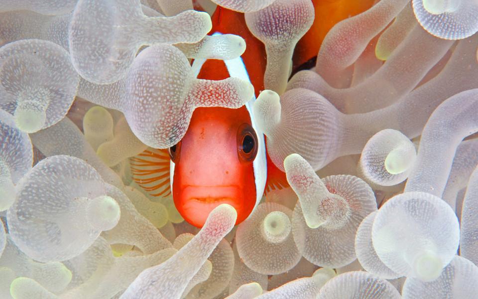 小丑鱼可爱高清壁纸