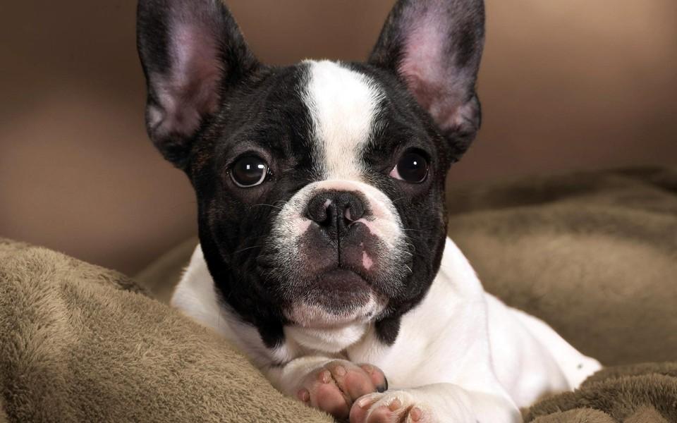 斗牛犬可爱狗狗壁纸