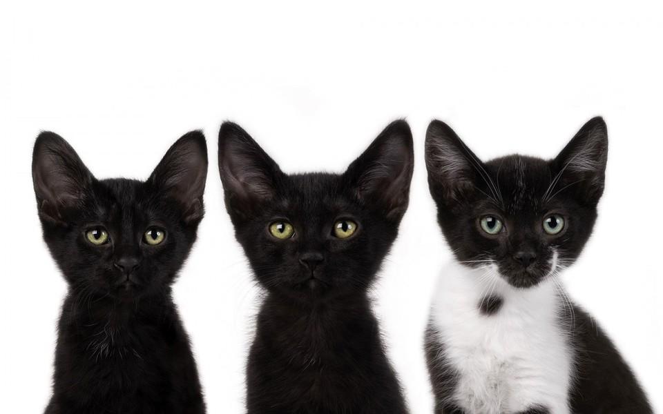 笔记本壁纸 萌猫壁纸 黑猫高清动物壁纸下载下载