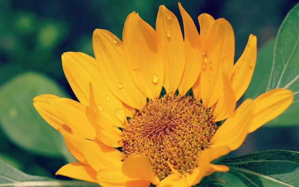 笔记本壁纸 花朵壁纸 向日葵锁屏高清壁纸下载